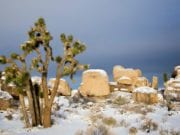 Joshua Tree, Southern California Covered in Snow